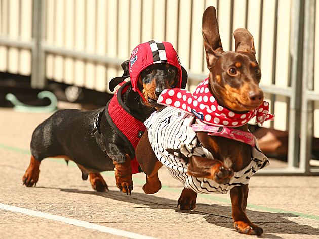 Dachshund Racing In Melbourne To Celebrate Oktoberfest